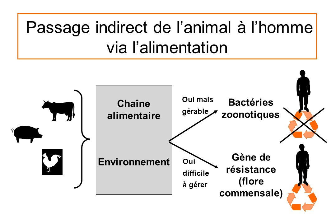 Passage indirect de l'animal à l'homme via l'alimentation