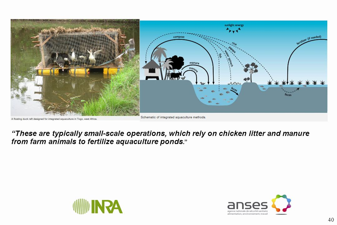 These are typically small-scale operations, which rely on chicken litter and manure from farm animals to fertilize aquaculture ponds.