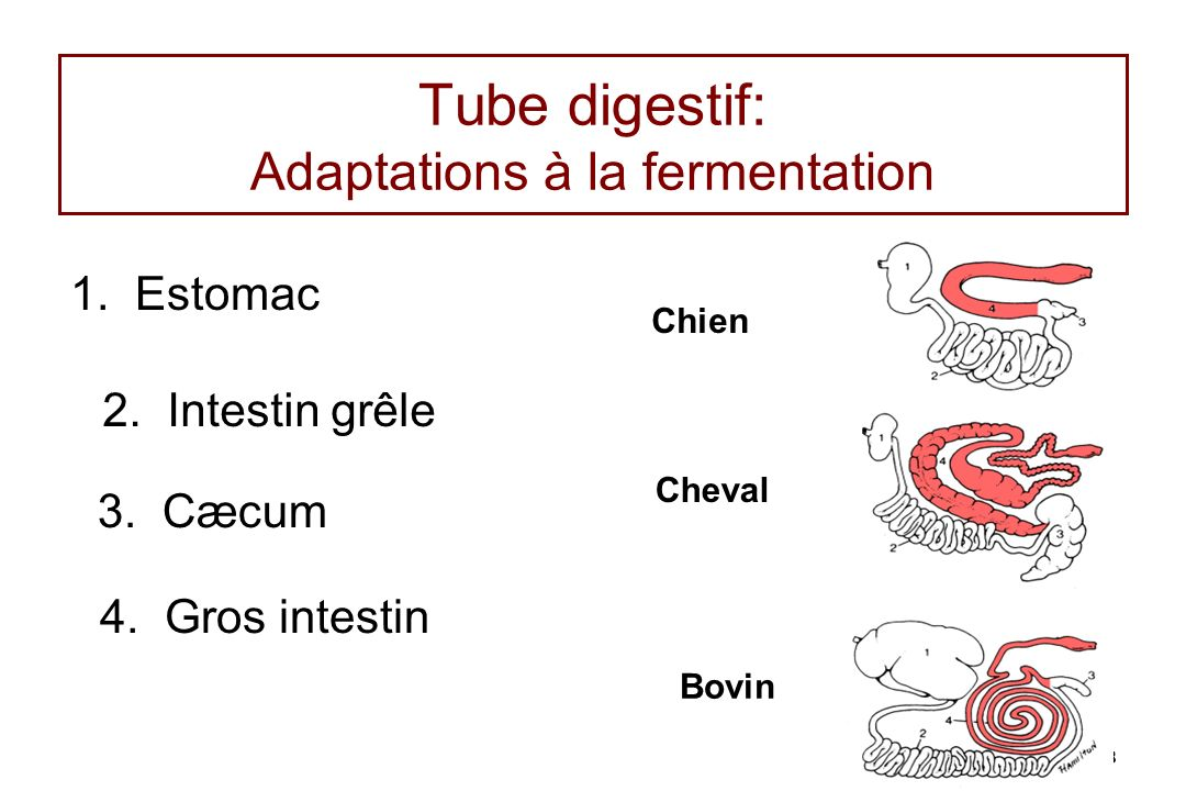 Tube digestif: Adaptations à la fermentation