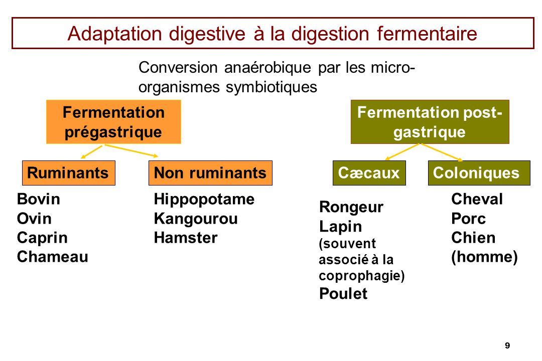 Adaptation digestive à la digestion fermentaire