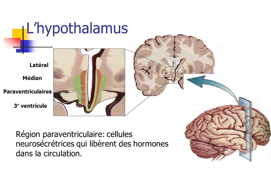 L'hypothalamusLatéral. Médian. Paraventriculaires. 3° ventricule.