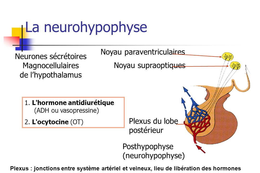 La neurohypophyse Noyau paraventriculaires Neurones sécrétoires
