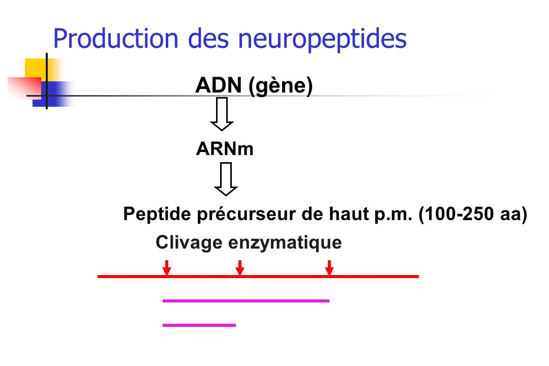 Production des neuropeptides