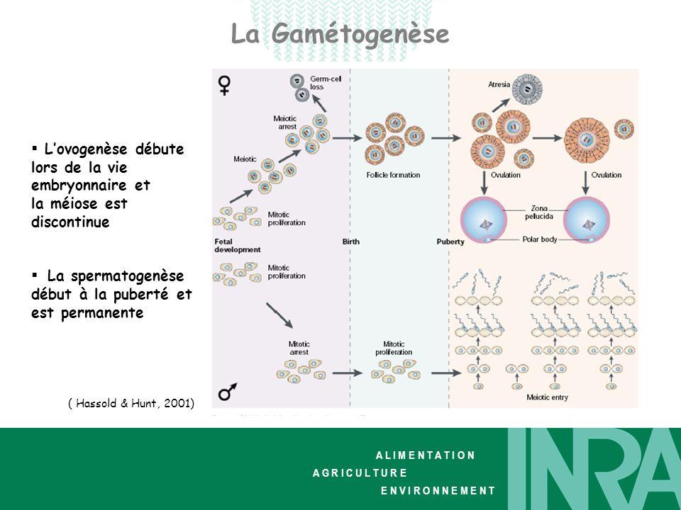 La Gamétogenèse L'ovogenèse débute lors de la vie embryonnaire et la méiose est discontinue. La spermatogenèse début à la puberté et est permanente.