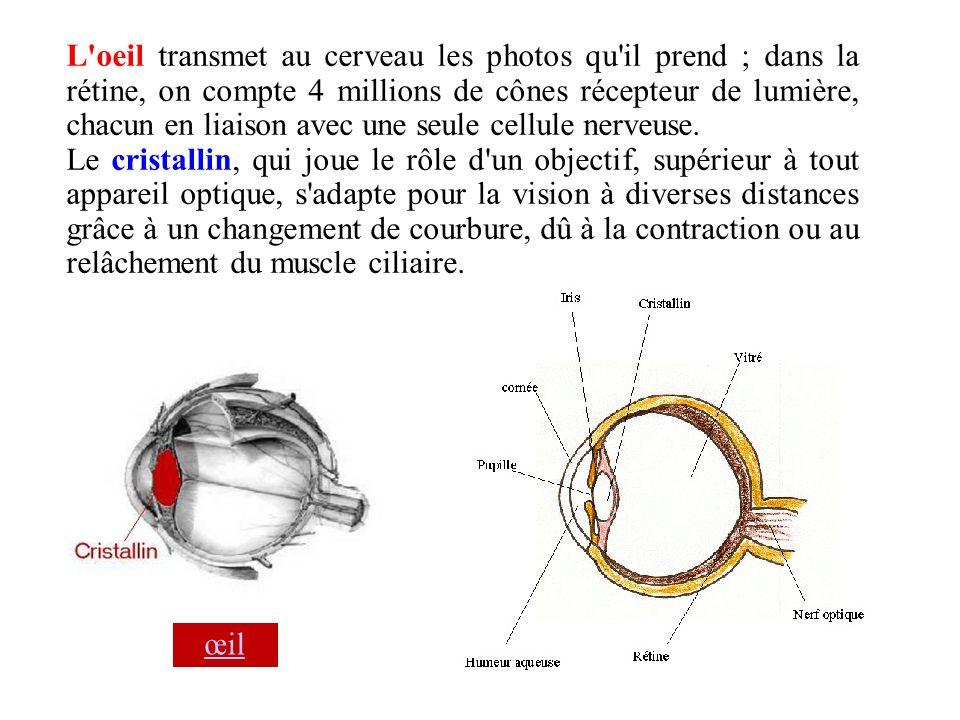 L oeil transmet au cerveau les photos qu il prend ; dans la rétine, on compte 4 millions de cônes récepteur de lumière, chacun en liaison avec une seule cellule nerveuse.