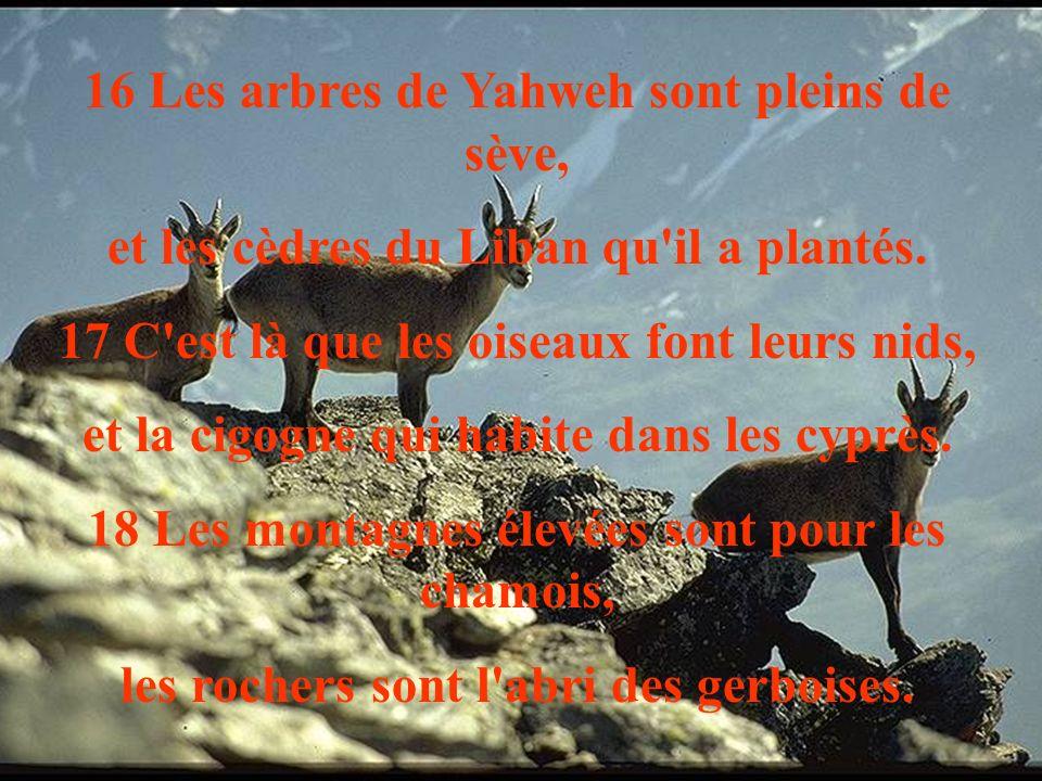 16 Les arbres de Yahweh sont pleins de sève,