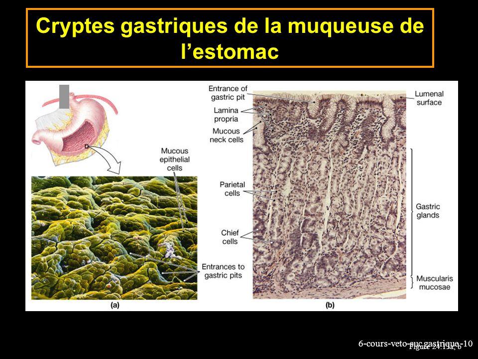Cryptes gastriques de la muqueuse de l'estomac