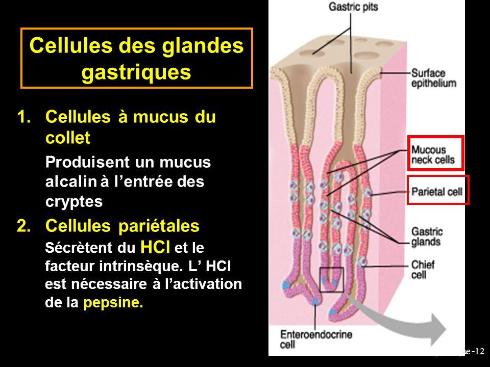 Cellules des glandes gastriques