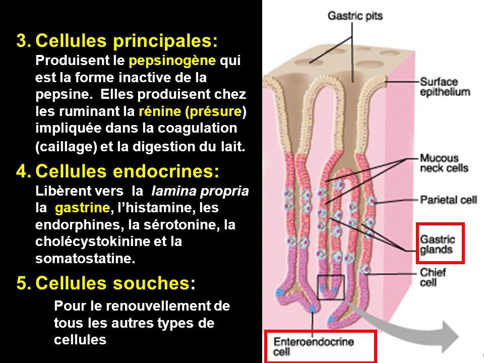 Cellules principales: Produisent le pepsinogène qui est la forme inactive de la pepsine. Elles produisent chez les ruminant la rénine (présure) impliquée dans la coagulation (caillage) et la digestion du lait.