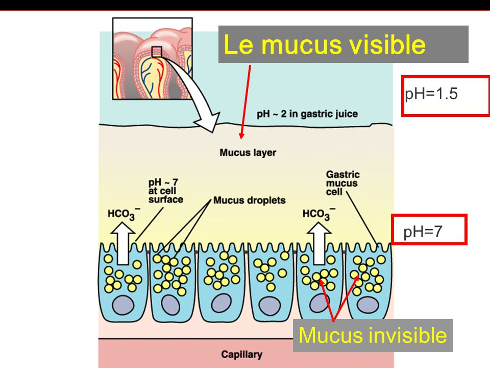 Le mucus visible pH=1.5 pH=7 Mucus invisible