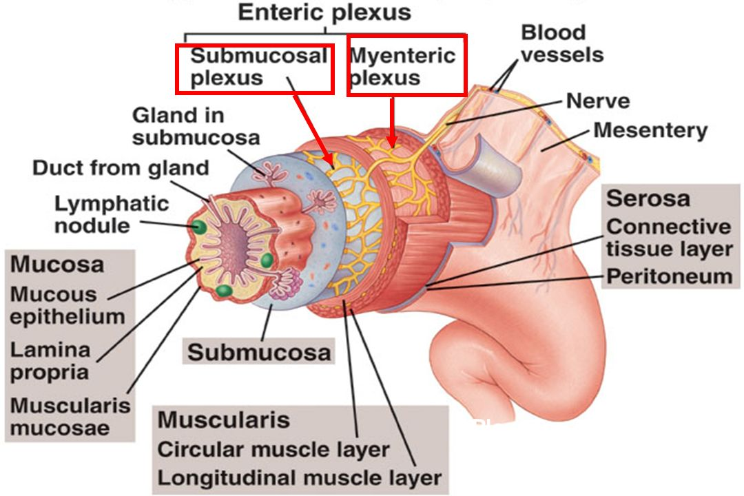 Plexuses innervate muscle & secretory cells of the GI tract