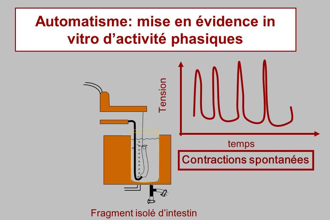 Automatisme: mise en évidence in vitro d'activité phasiques