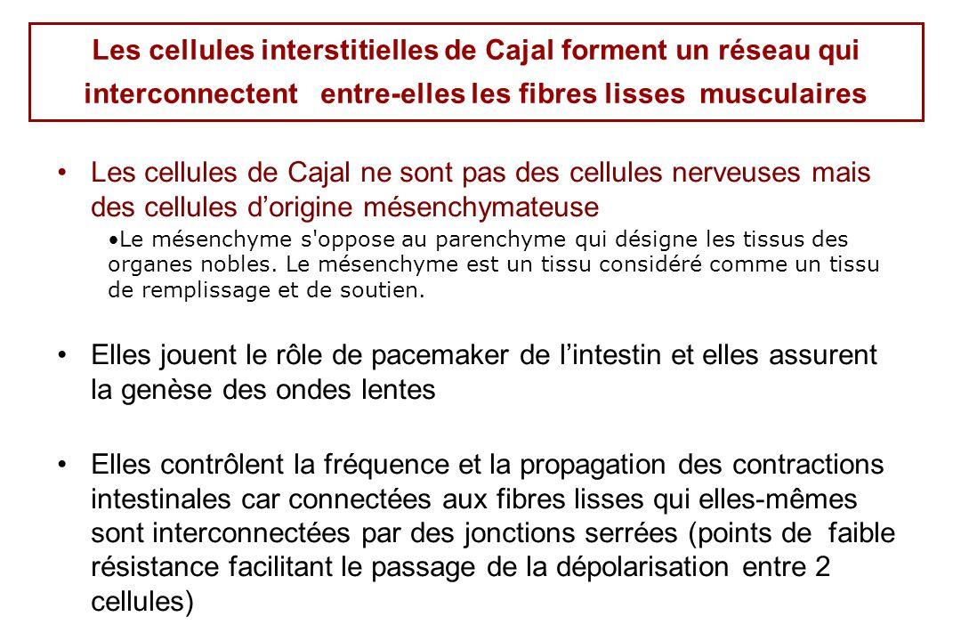 Les cellules interstitielles de Cajal forment un réseau qui interconnectent entre-elles les fibres lisses musculaires