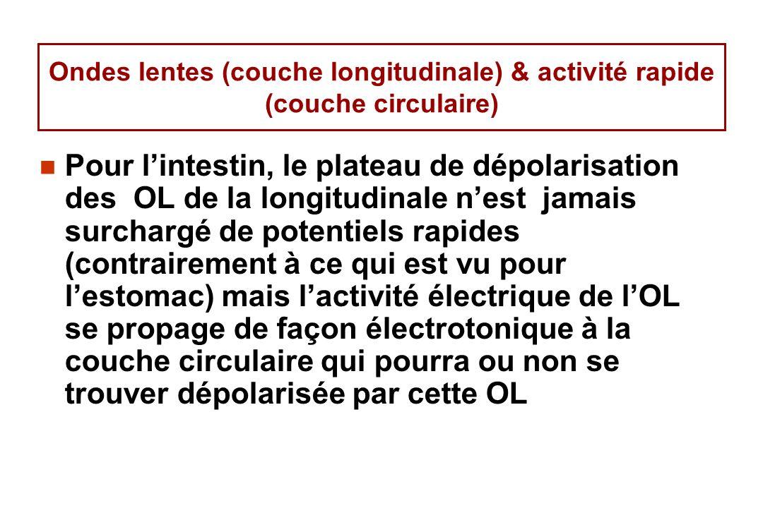 Ondes lentes (couche longitudinale) & activité rapide (couche circulaire)