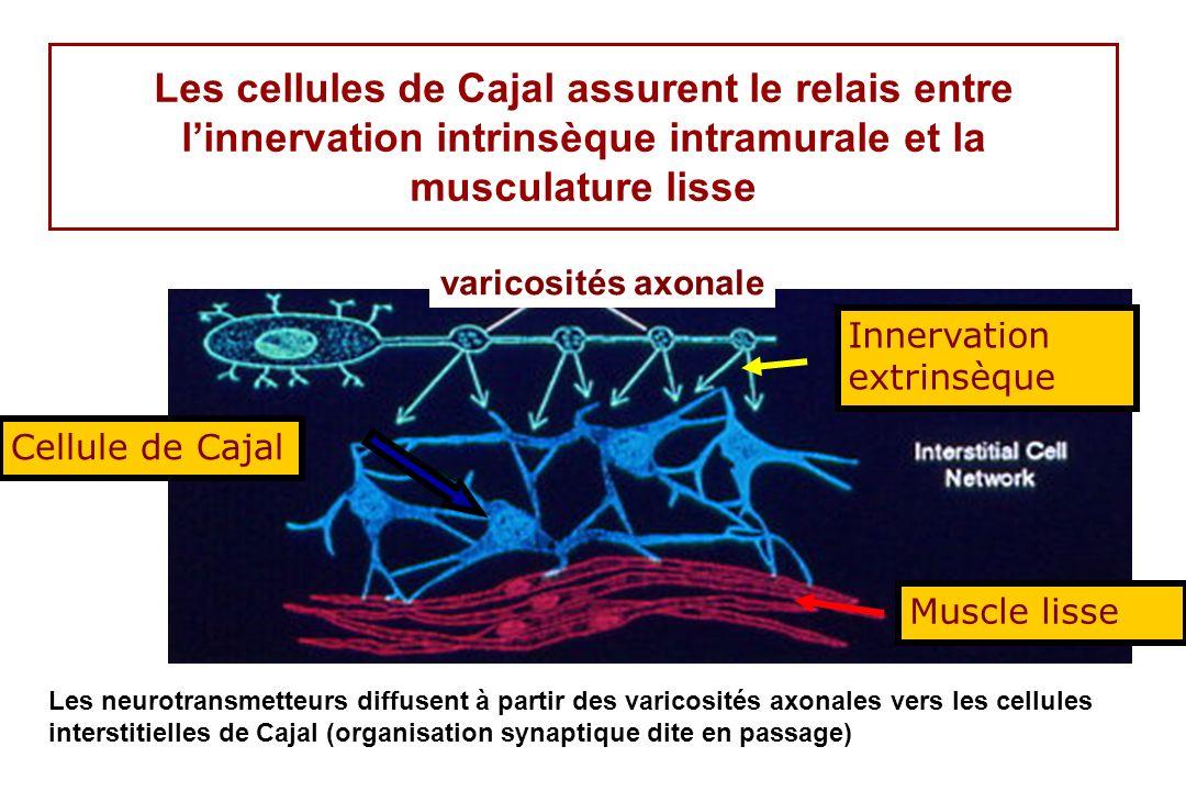 Les cellules de Cajal assurent le relais entre l'innervation intrinsèque intramurale et la musculature lisse