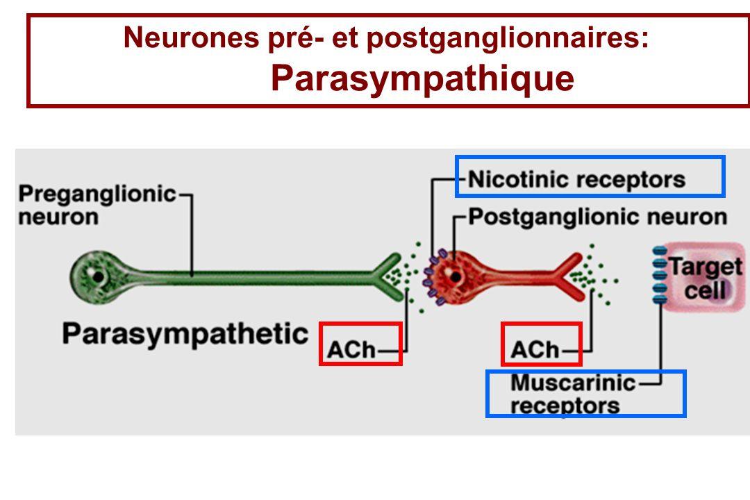 Neurones pré- et postganglionnaires: Parasympathique