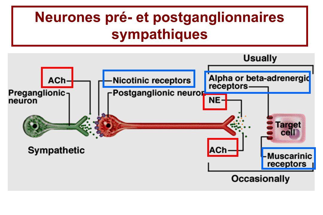 Neurones pré- et postganglionnaires sympathiques