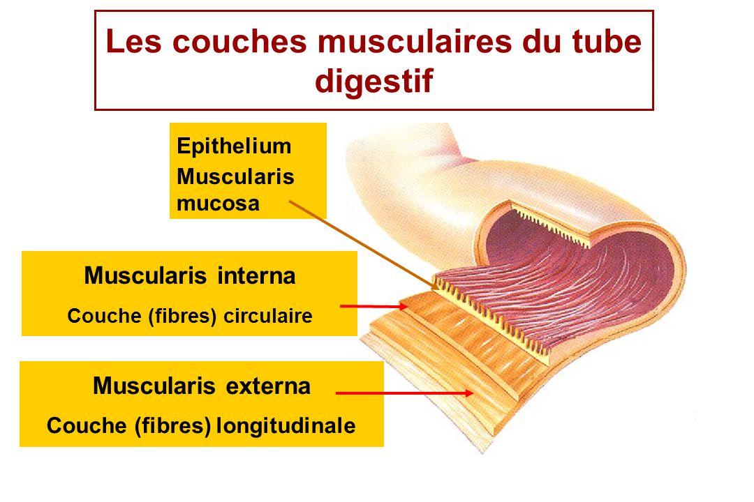Les couches musculaires du tube digestif