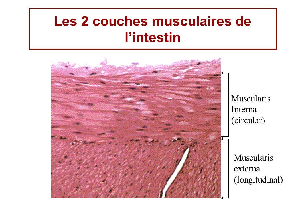 Les 2 couches musculaires de l'intestin