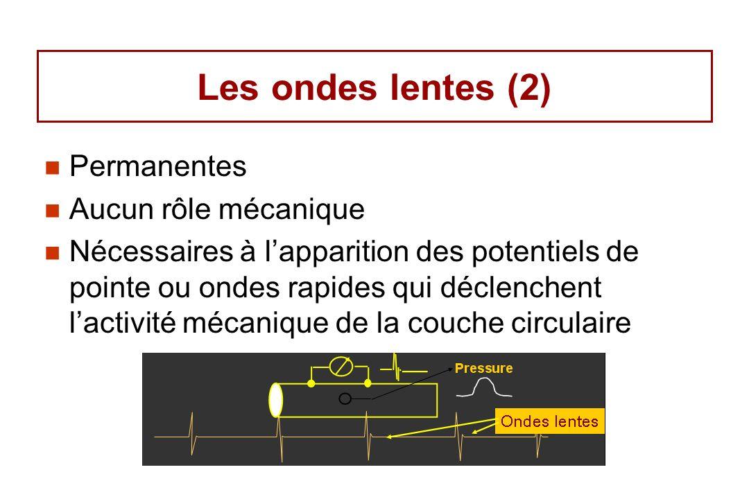 Les ondes lentes (2) Permanentes Aucun rôle mécanique