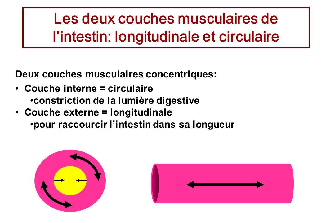 Les deux couches musculaires de l'intestin: longitudinale et circulaire