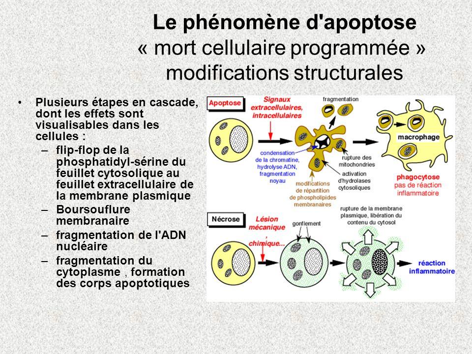 Le phénomène d apoptose « mort cellulaire programmée » modifications structurales
