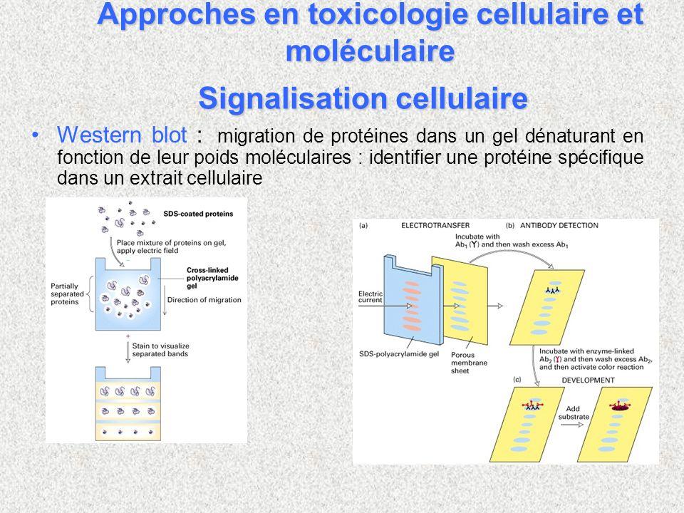 Signalisation cellulaire