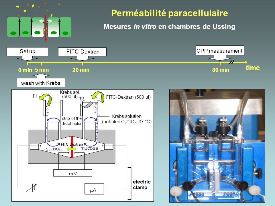 Perméabilité paracellulaire Mesures in vitro en chambres de Ussing