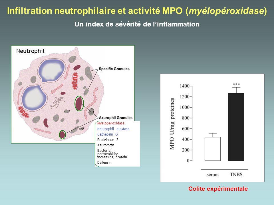 Infiltration neutrophilaire et activité MPO (myélopéroxidase)