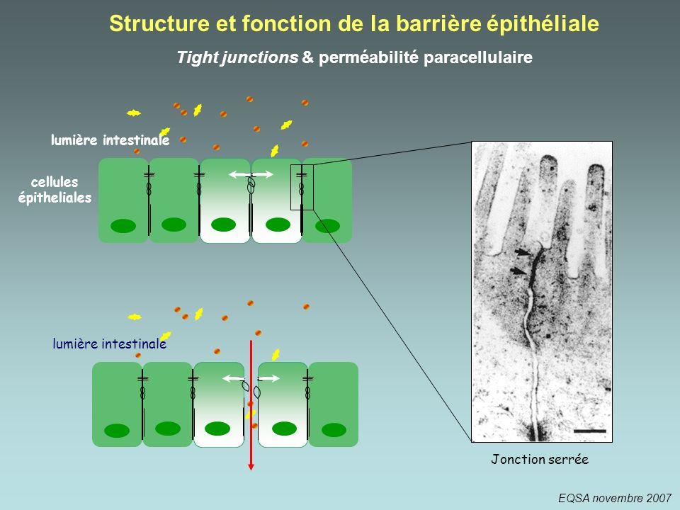 Structure et fonction de la barrière épithéliale