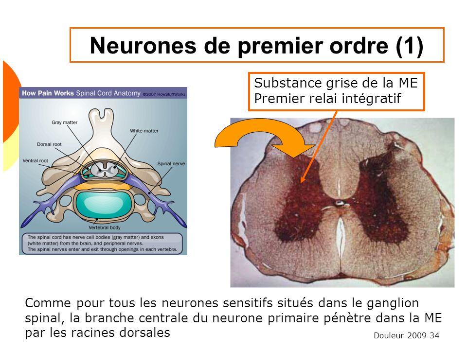 Neurones de premier ordre (1)