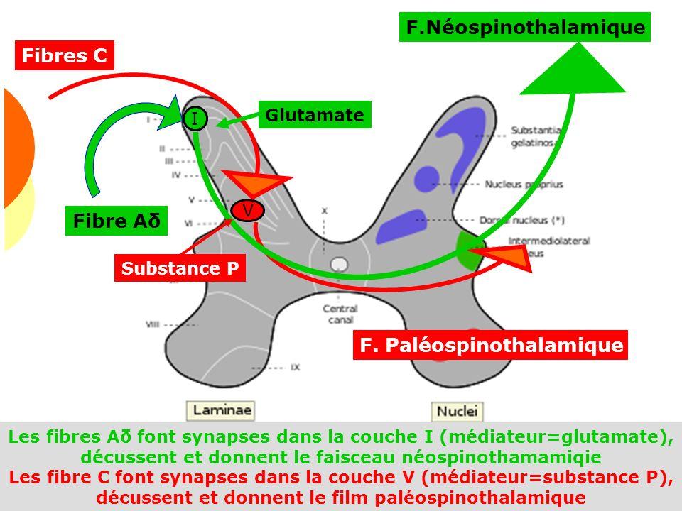 F. Paléospinothalamique F.Néospinothalamique