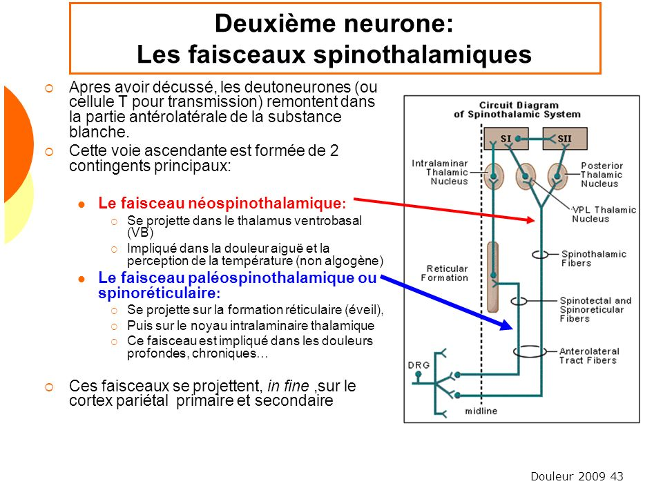 Deuxième neurone: Les faisceaux spinothalamiques