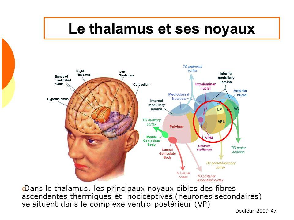 Le thalamus et ses noyaux