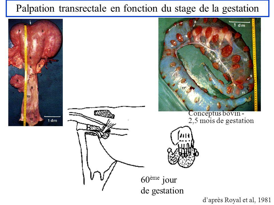Palpation transrectale en fonction du stage de la gestation