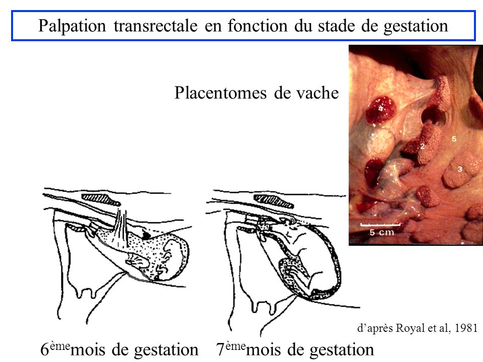 Palpation transrectale en fonction du stade de gestation