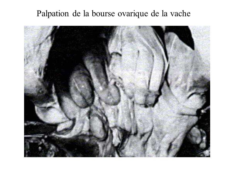 Palpation de la bourse ovarique de la vache