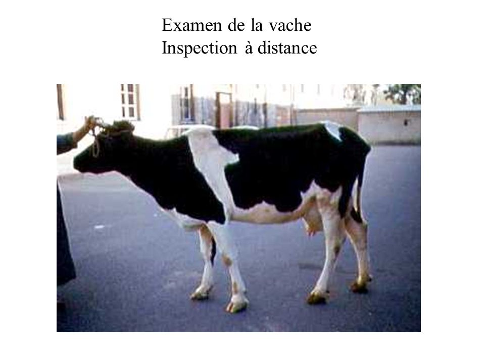 Examen de la vache Inspection à distance