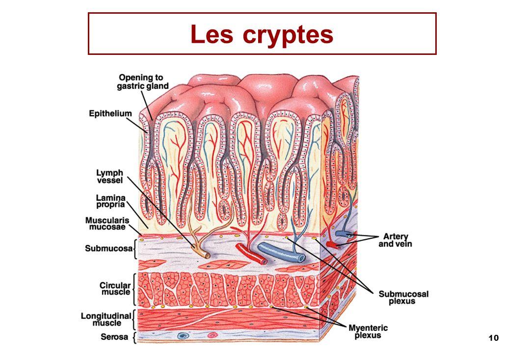 Les cryptes