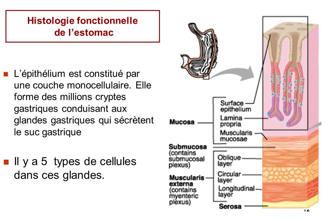 Histologie fonctionnelle de l'estomac