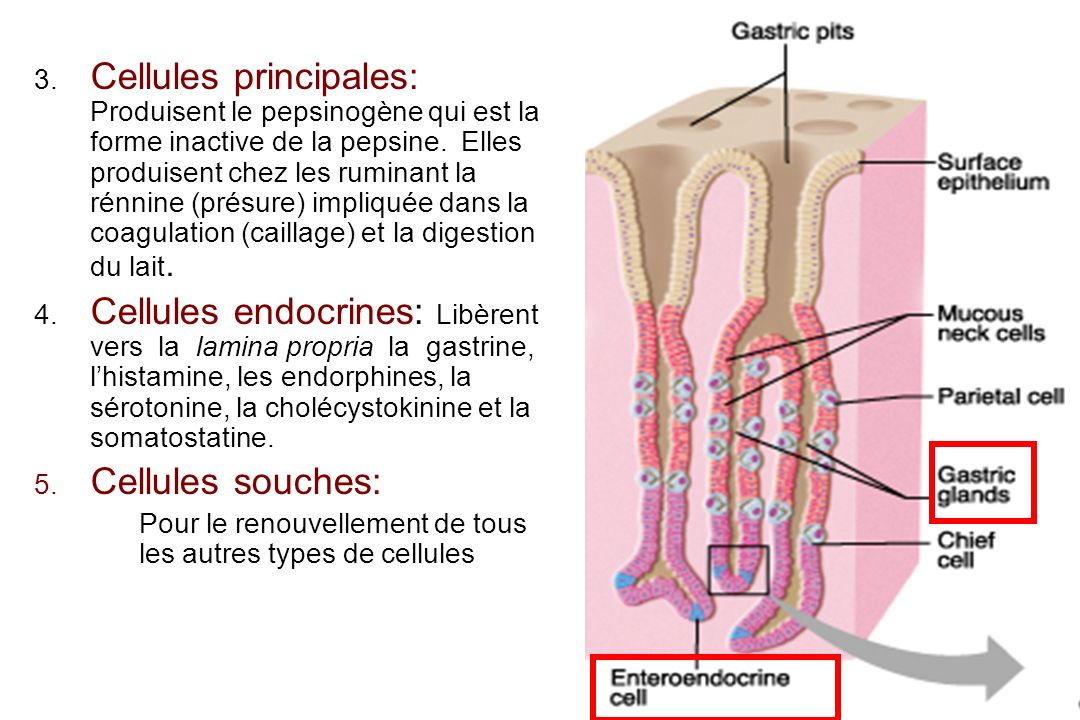 Cellules principales: Produisent le pepsinogène qui est la forme inactive de la pepsine. Elles produisent chez les ruminant la rénnine (présure) impliquée dans la coagulation (caillage) et la digestion du lait.
