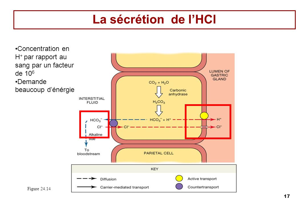 La sécrétion de l'HCl Concentration en H+ par rapport au sang par un facteur de 106. Demande beaucoup d'énérgie.