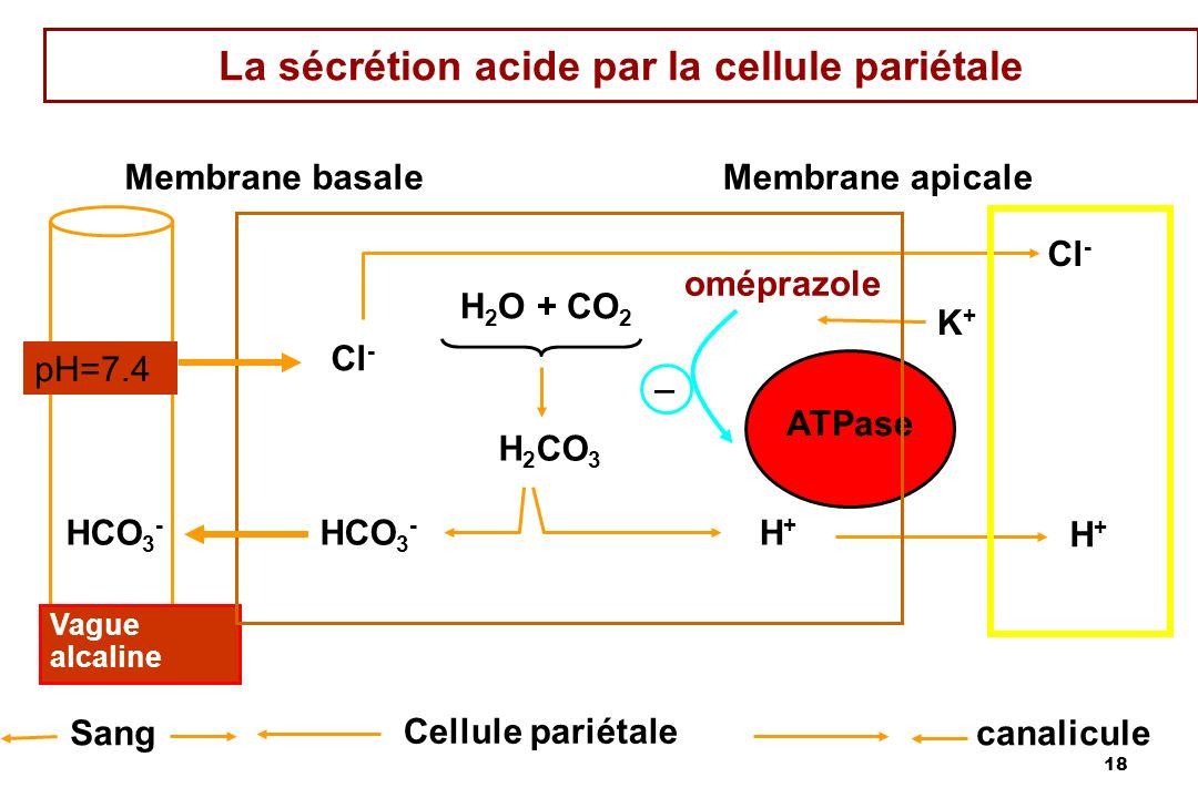 La sécrétion acide par la cellule pariétale