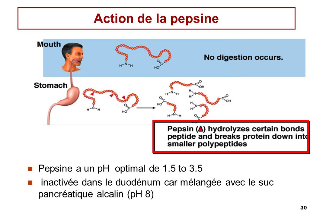 Action de la pepsine Pepsine a un pH optimal de 1.5 to 3.5