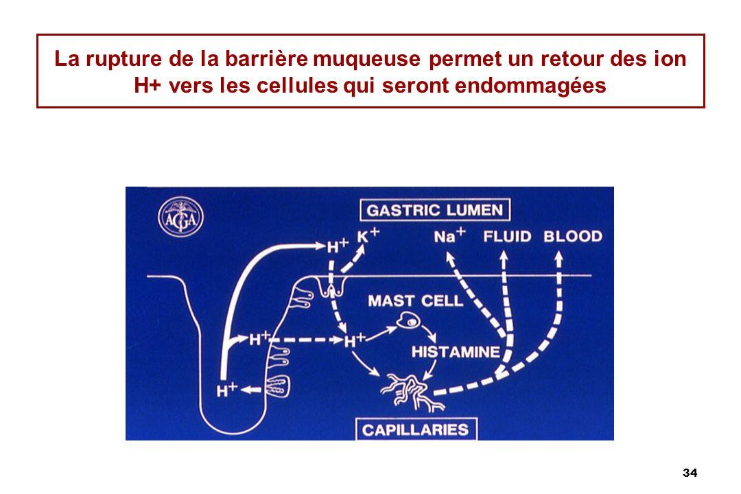 La rupture de la barrière muqueuse permet un retour des ion H+ vers les cellules qui seront endommagées
