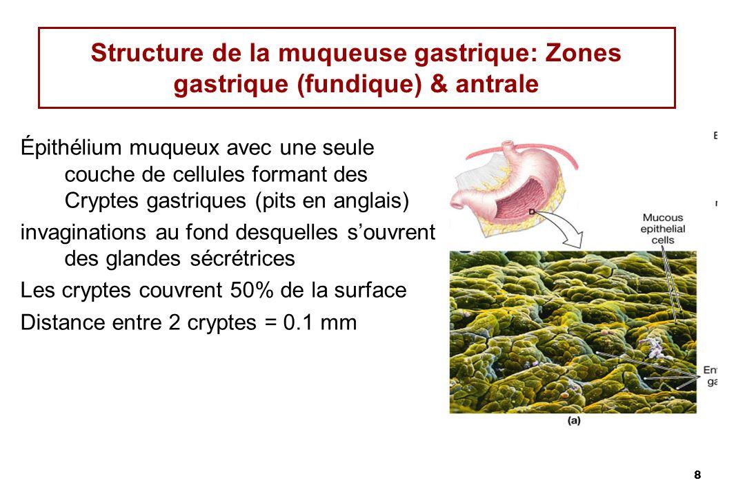 Structure de la muqueuse gastrique: Zones gastrique (fundique) & antrale