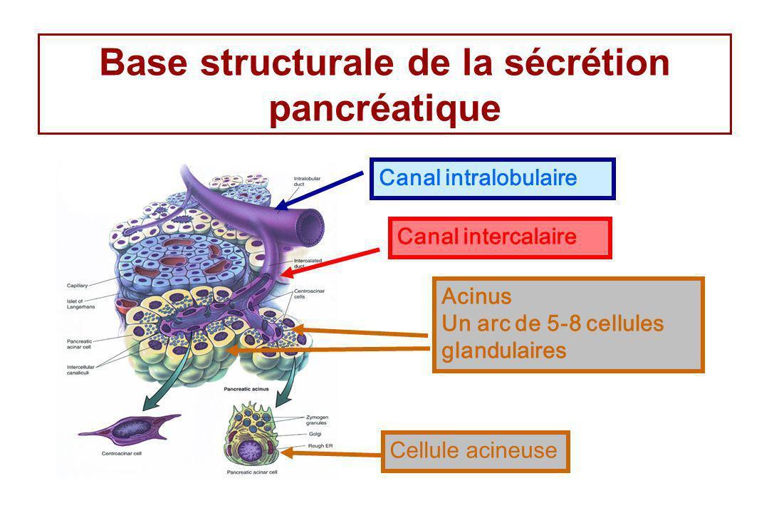 Base structurale de la sécrétion pancréatique