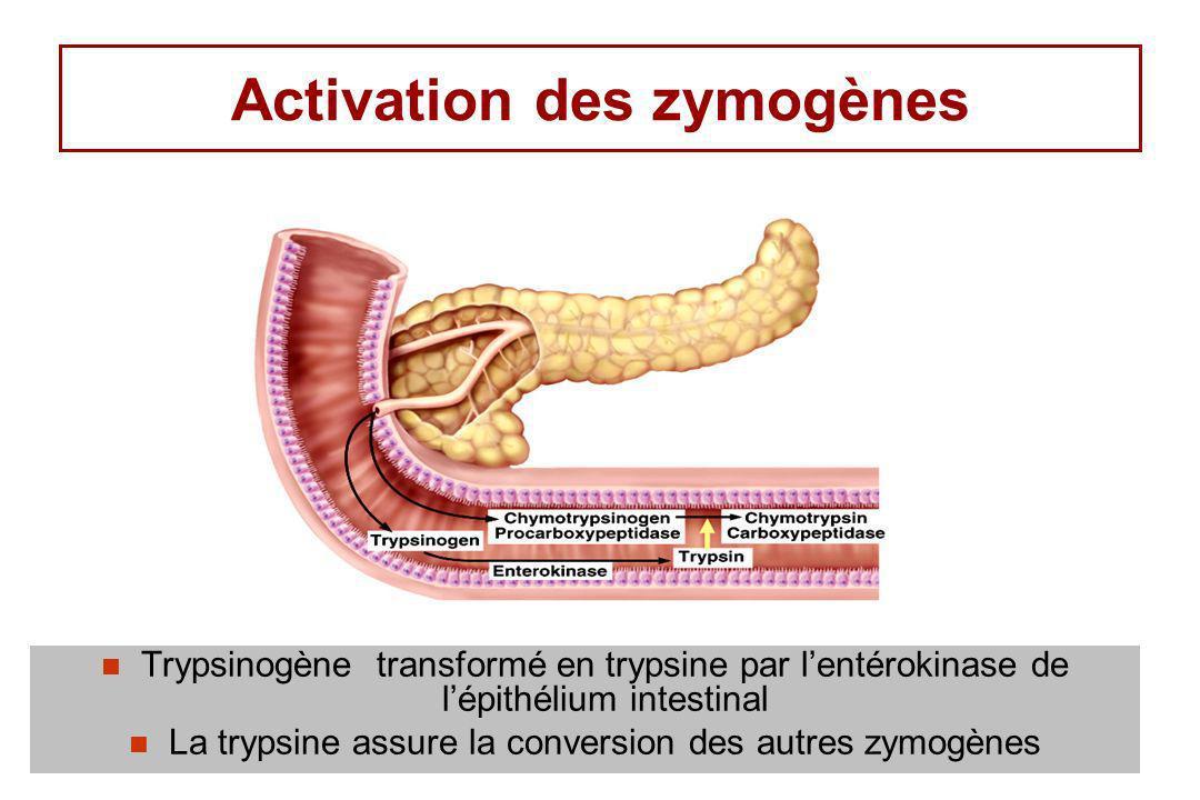 Activation des zymogènes