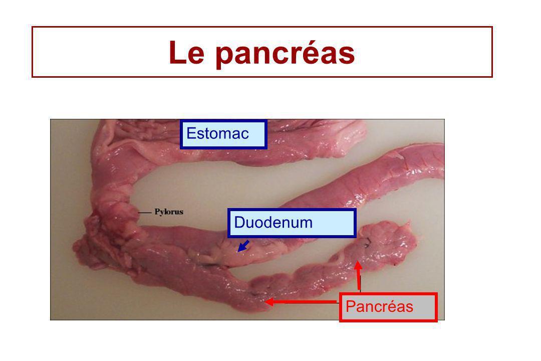 Le pancréas Estomac Duodenum Pancréas