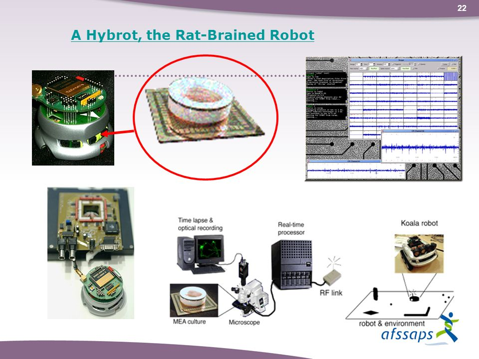 A Hybrot, the Rat-Brained Robot